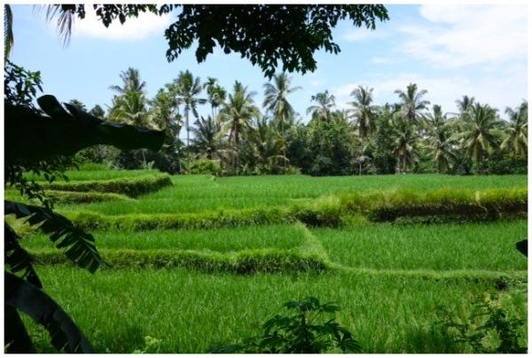 Rural Paddy