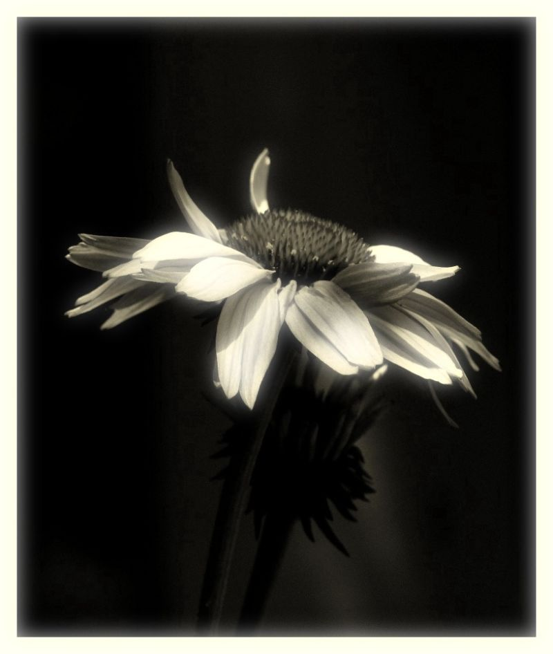 A beautiful photos of a flower in black and white!