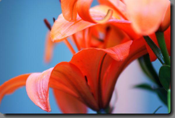 bouquet of orange flowers lys