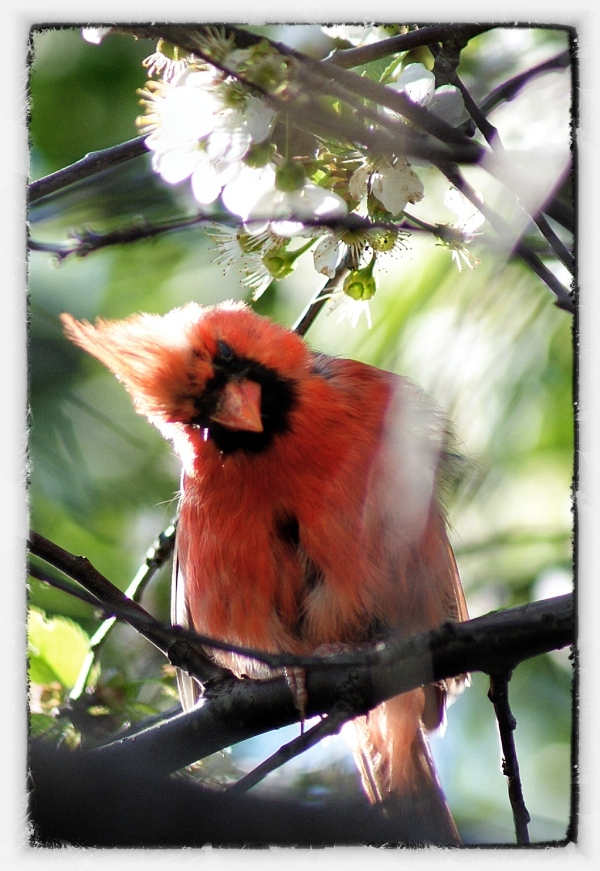 a red cardinal say hi with his head