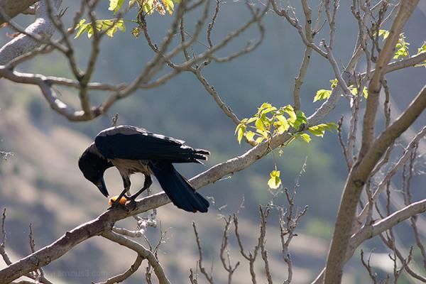 Crow, Jamshidieh park