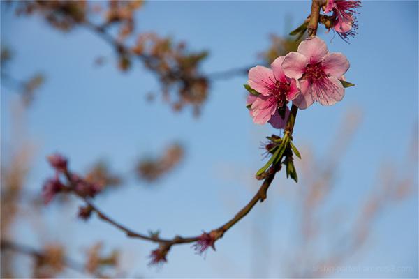 Plum blossom, Nature day, Sizdah-bedar, Sorkhab