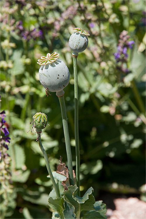 Poppy, Iran national botany garden, spring, flower