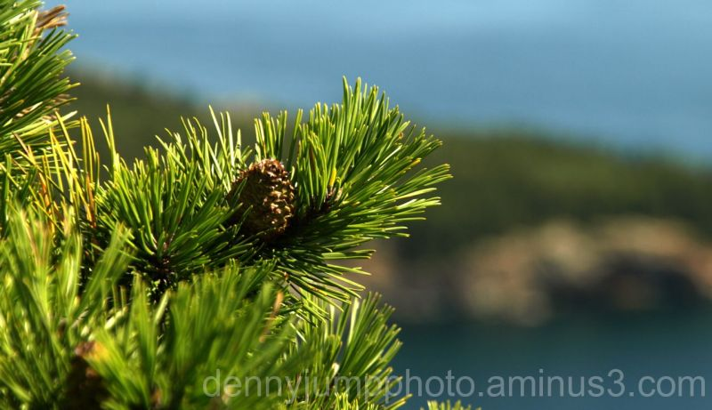 Eastern Pine cone