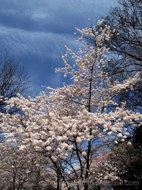 Favorite Cherry Blossoms in DC