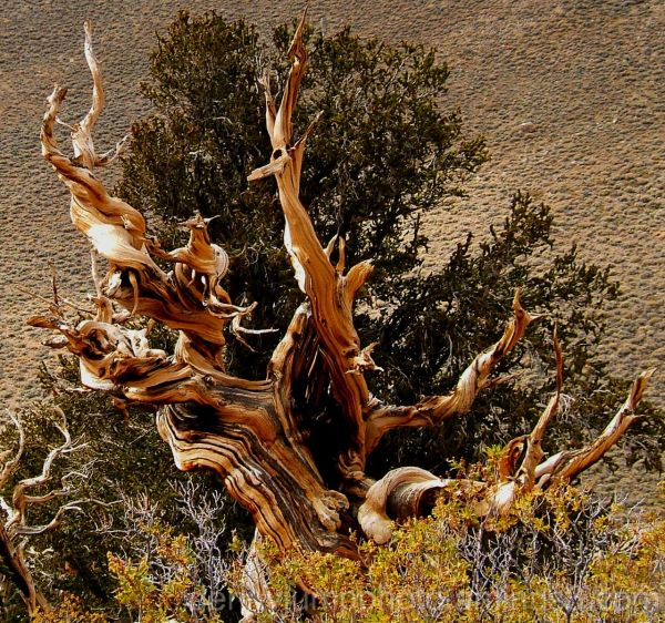 Sacred Ground   Ancient Bristlecone Pine Forest