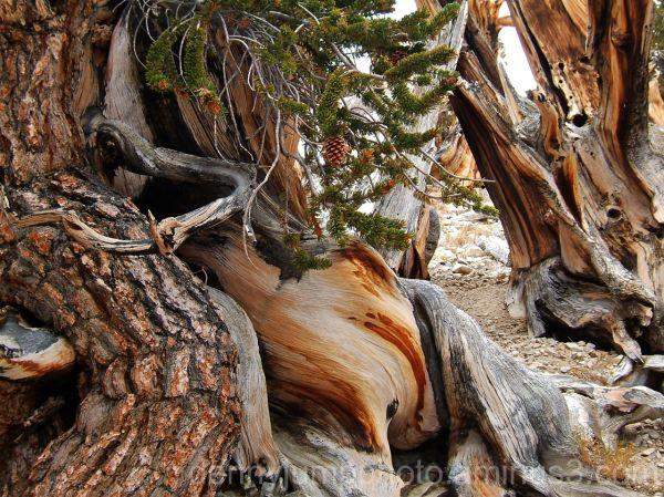 A Bristlecone Pine