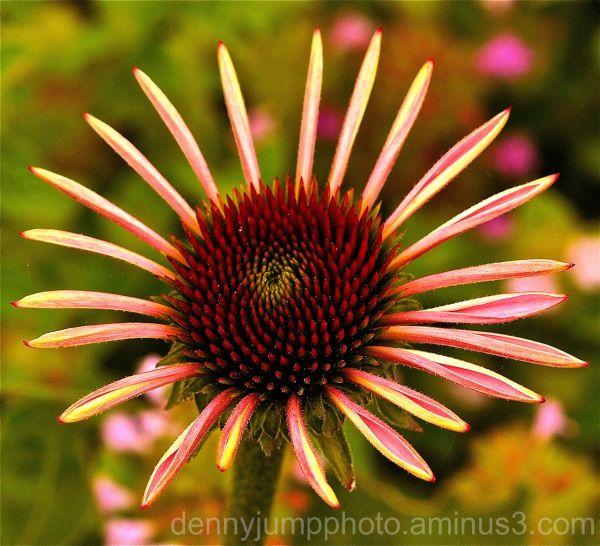 Pinwheel Echinacea