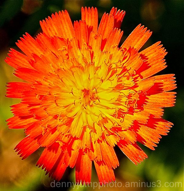 Devils Paintbrush