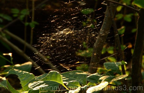 Web in Forest Light
