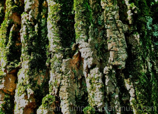Old Growth Moss