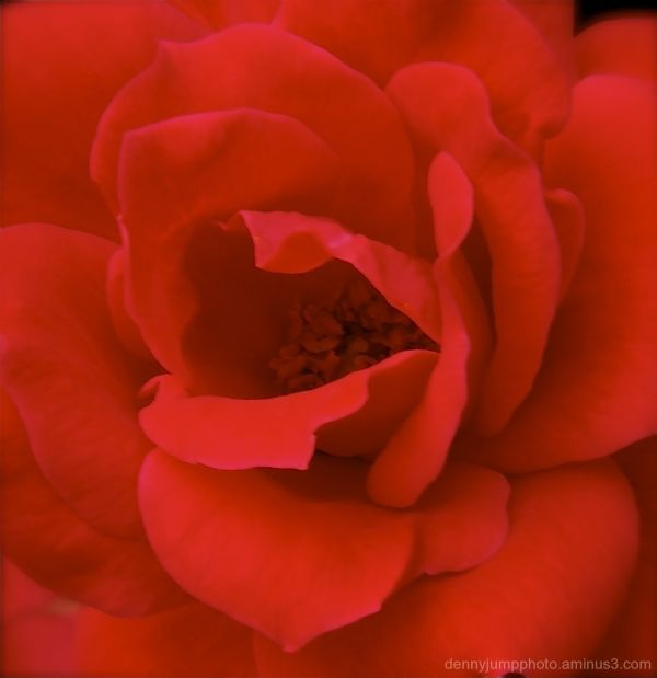 Roses Within a Rose