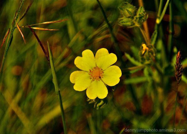Vermont Wildflower
