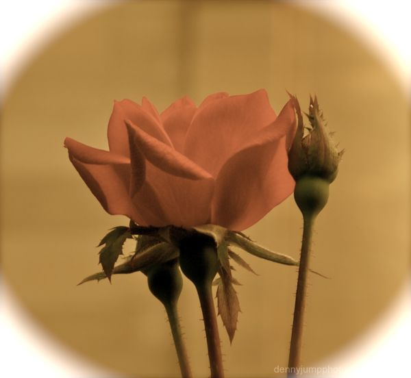 A Rose For all my AM3 Friends