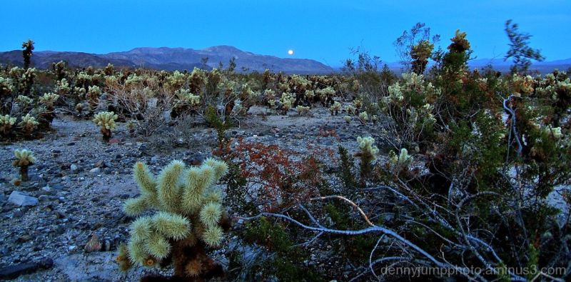 Moonrise at Cholla Garden