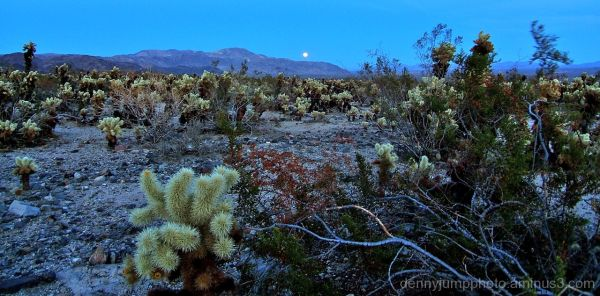 Cholla Moonrise   Joshua Tree NP