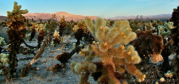 It's a Bloomin' Cholla!
