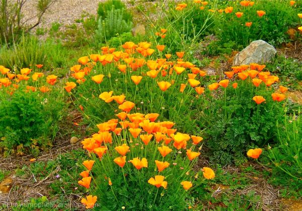 California State Flower  the Golden Poppy