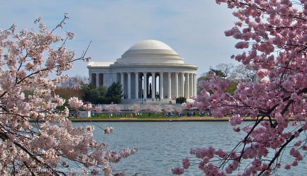 Cherry Trees and Jefferson Memorial