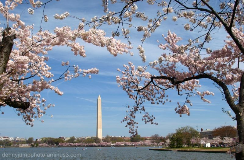 Washington Monument during Cherry Blossom Festival