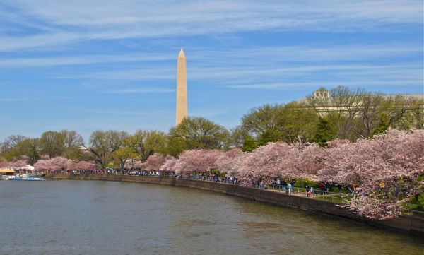 Washington Monument & Blossoms   Our last Look