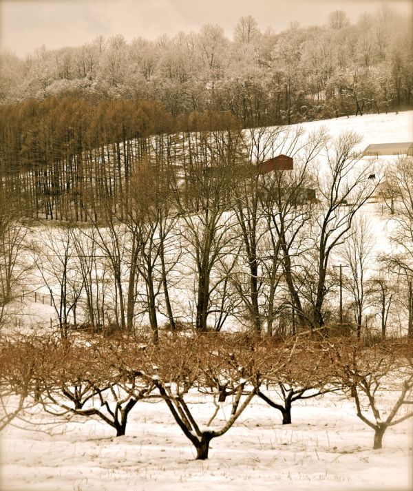 Antique Orchard