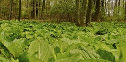 Skunk Cabbage and Budding Trees