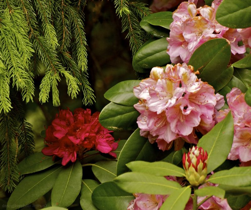 Arboretum  Rhodedendrons