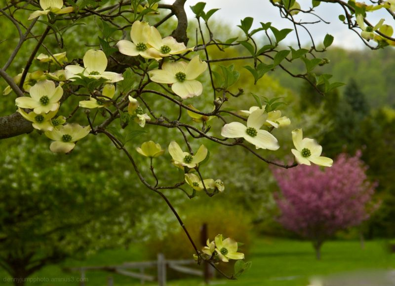 Dogwood in the Park
