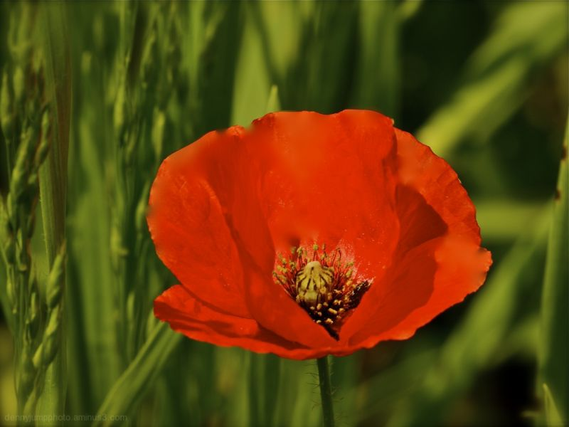 Profusely Polinated Poppy