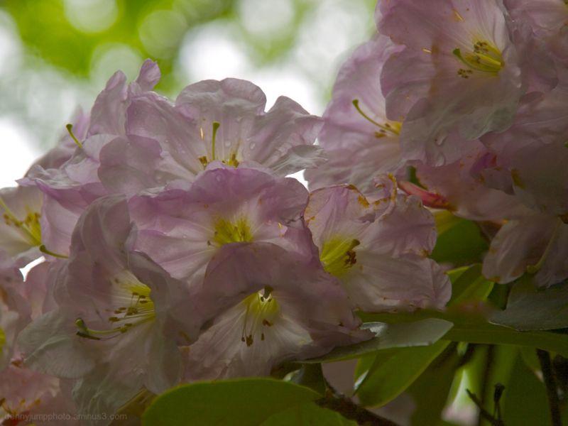 Rhodedendruns - Graver Arboretum