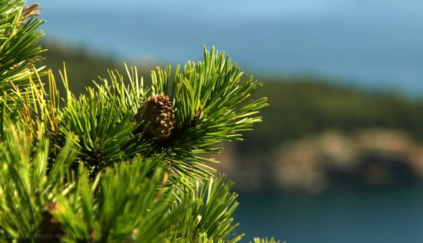 Eastern Pine and Acadia   Farewell to Acadia