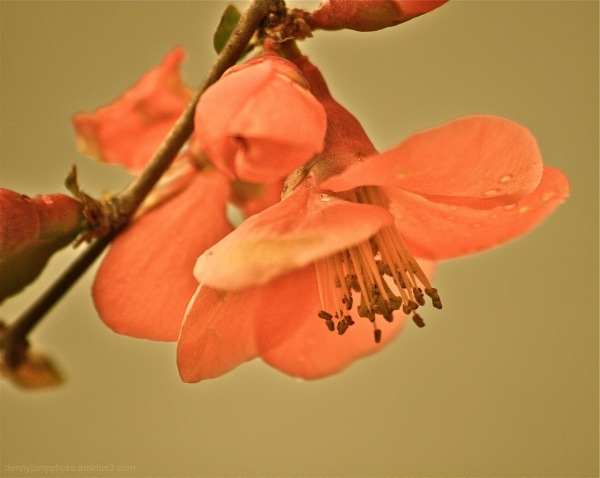 Antique Quince