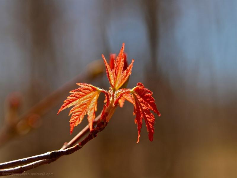 Appalachian Trail Maple
