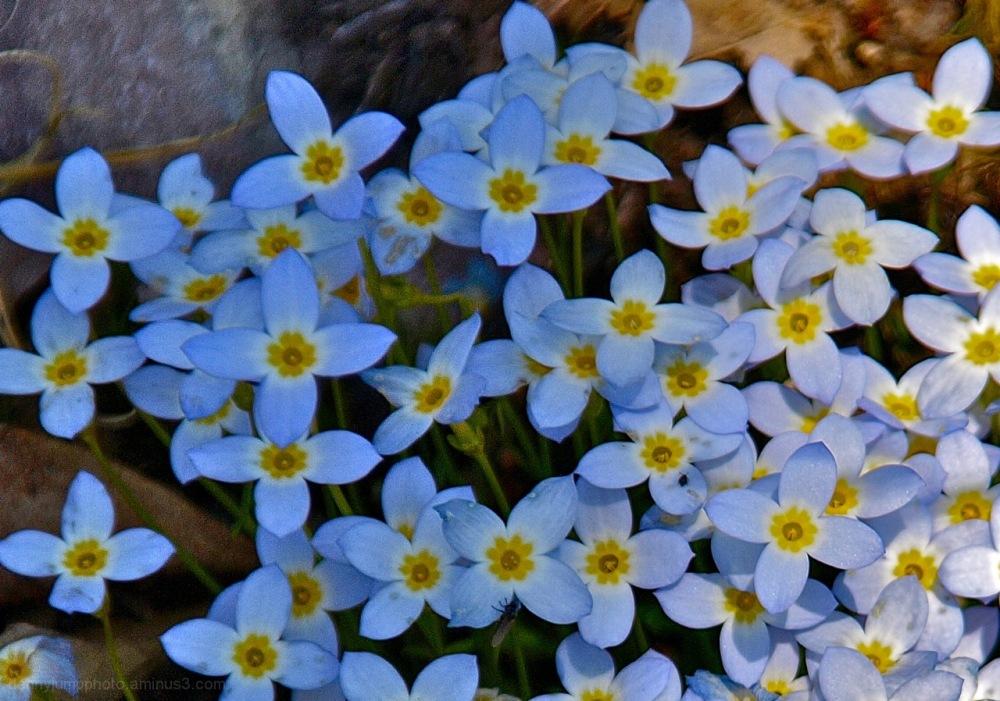 Bluets (Houstonia caerulea)