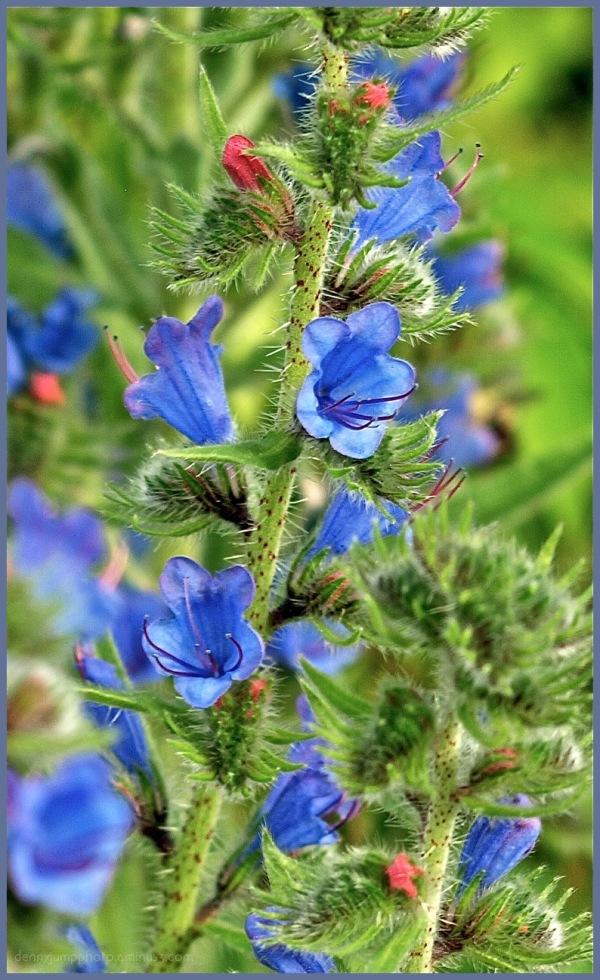 Vipor's Bugloss (Echium Vulgare) - II