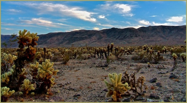 From the Archives: Cholla at Joshua Tree N.P.