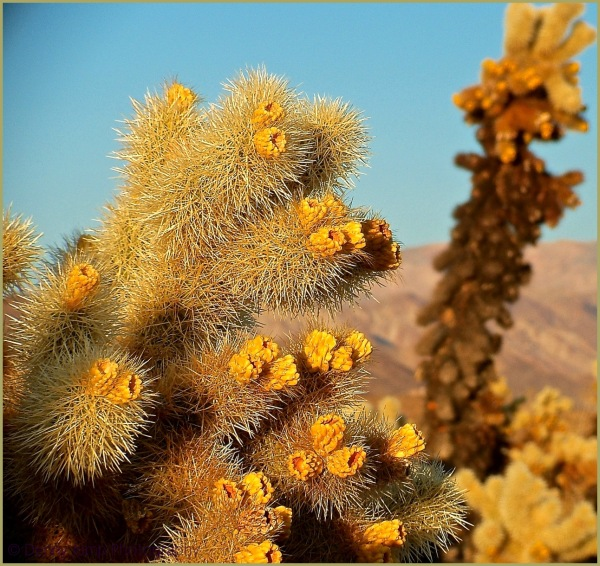 "Teddy Bear or ""Jumping"" Cholla   Joshua Tree N.P."