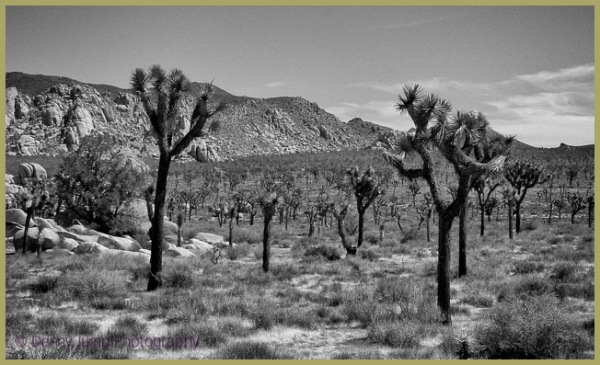 Threatened Joshua Tree