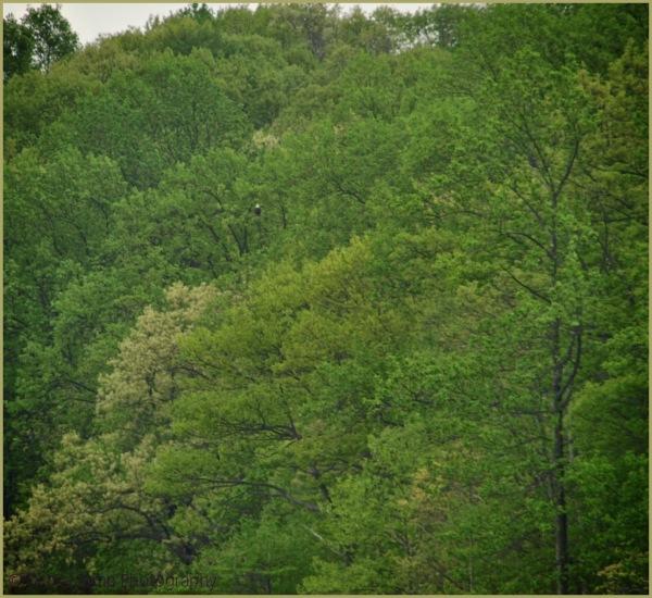 Merrill Creek Bald Eagle