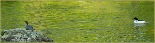 Common Merganser