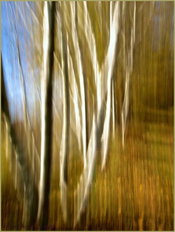 """""""R.E.M. state"""" Birches"""