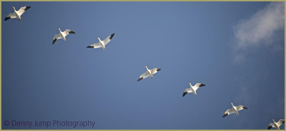 Money Geese