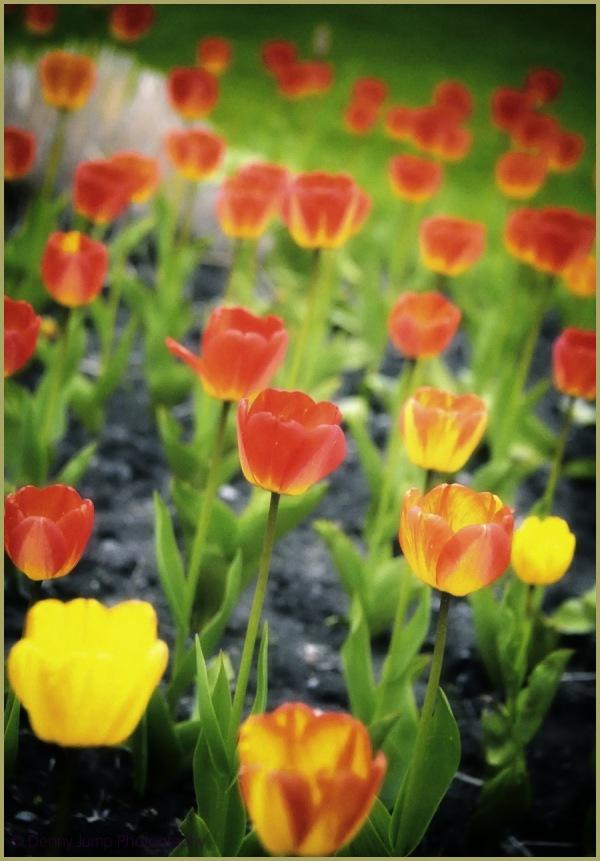 Tulip Hallucination