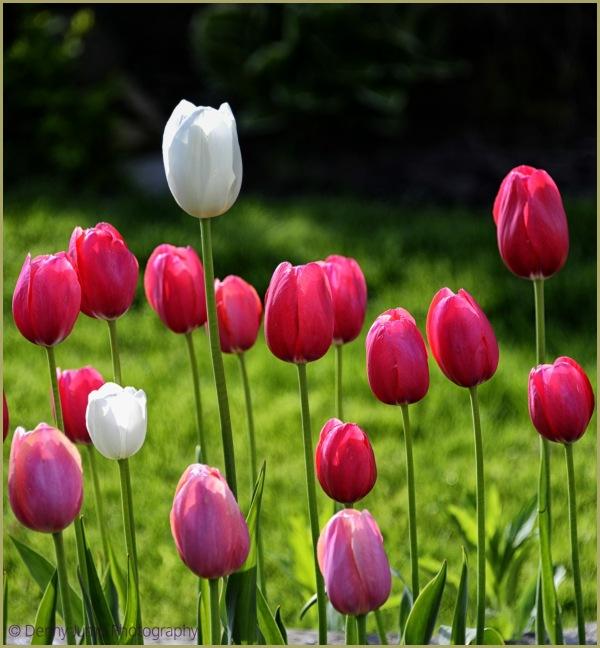 Tulip a  Rama