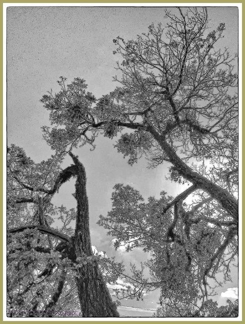 Soft Sepia Trees