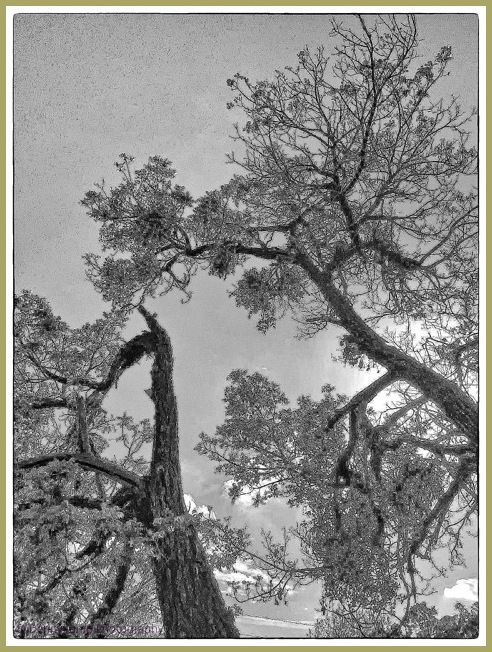 Diablo Trees   Concord, CA