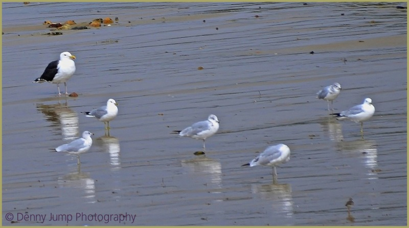 Cape Seagulls and Sandpiper