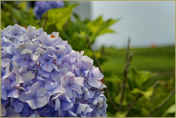 """The Cape""  Hydrangea View"