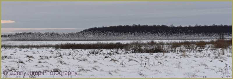 Snow Geese from Afar